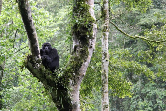 Visiting Mountain Gorillas in Bwindi Impenetrable Forest in Uganda