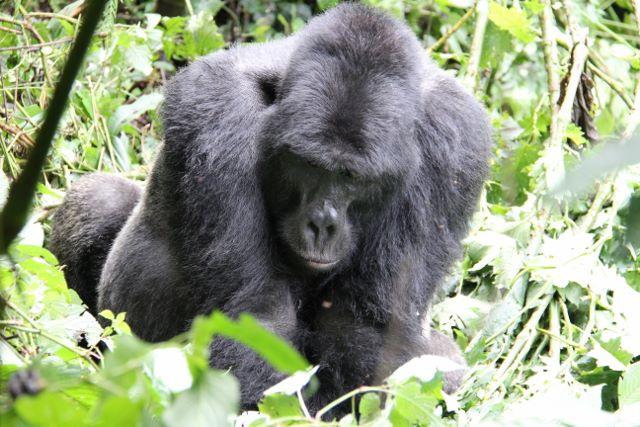 Silverback Mountain Gorilla in Bwindi