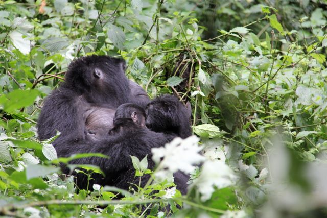 Three week old baby gorilla with its mom in Uganda