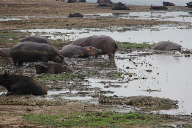 Hippos, water buffaloes and crocodiles in Uganda