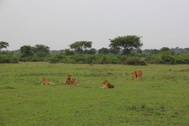 Lions at Queen Elizabeth National Park in Uganda